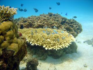 サンゴに群れる