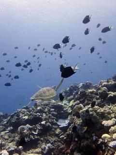アオウミガメ④