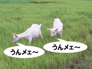 やぎ、草を食べる