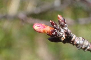 寒緋桜の蕾