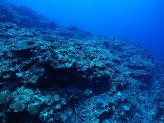 リュウキュウキッカサンゴ