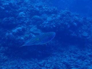 コブシメ2