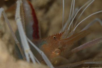 クメジマオトヒメエビ