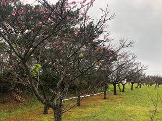 寒緋桜の列