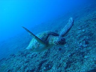 アオウミガメ接近