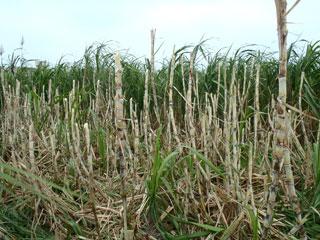 伐採途中のサトウキビ