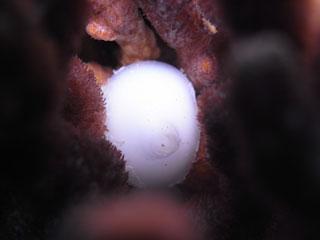 コブシメの卵
