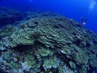 パラオハマサンゴ