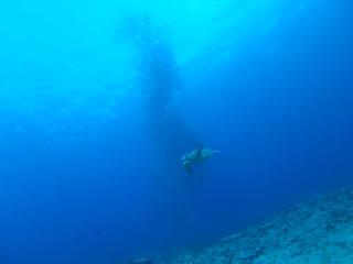 アカウミガメとギンガメアジ