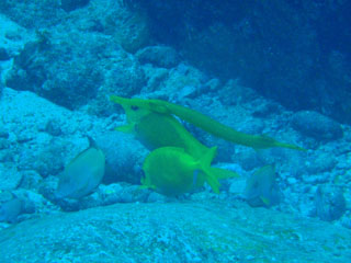 サンゴアイゴとヘラヤガラ