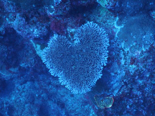 ハートサンゴ