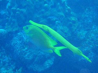 サンゴアイゴとヘラヤガラその2