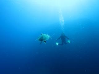 アオウミガメ正面