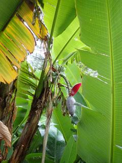 バナナの花と実?