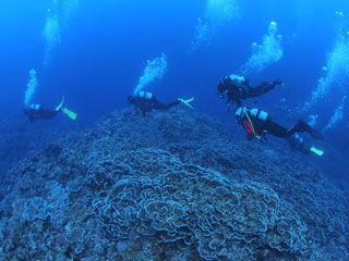 リュウキュウキッカサンゴの群生