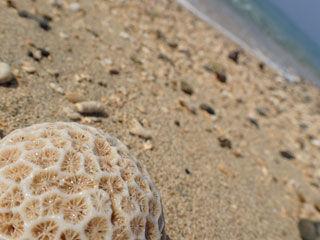 サンゴの欠片