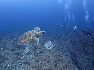 アオウミガメとツバメウオ