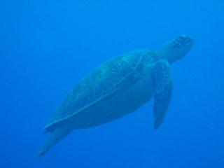 アオウミガメ(横)