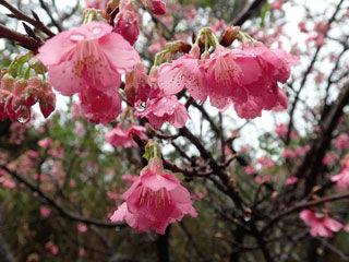 寒緋桜 寄り 水