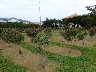 久米紅の咲く場所