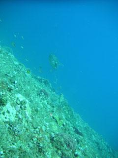アオウミガメ2匹