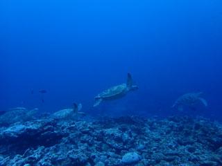 アオウミガメ①