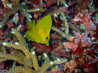 キイロハギ 幼魚