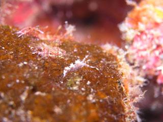 シモフリミノウミウシ