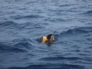 アカウミガメの交接