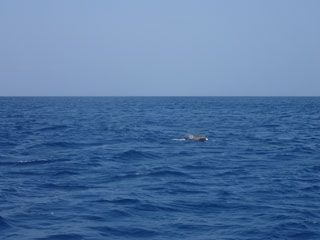 水面イルカ①