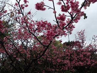 寒緋桜 引き