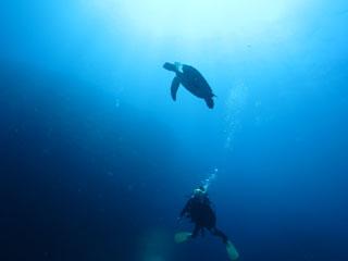 アオウミガメ見上げる