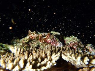 サンゴの産卵③