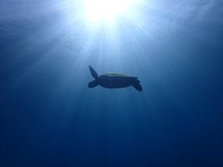 アオウミガメ③