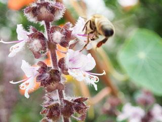 ミツバチ②