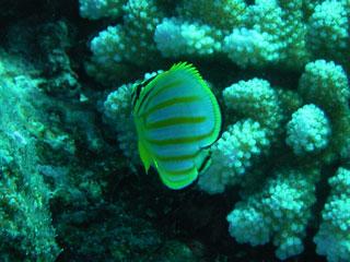ハナグロチョウチョウウオの幼魚